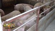 U Srpskoj nema afričke kuge svinja