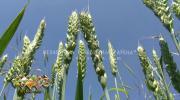 Pšenici prijeti fuzarijum, neophodno što prije obaviti tretmane u atarima /VIDEO/