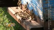 Pčelari prihranom spašavaju društva /VIDEO/