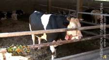 Govedarstvo u problemima, nadležni u Srpskoj traže uvođenje mjera zaštite proizvodnje /VIDEO/
