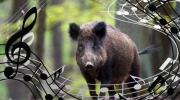 Narodnom muzikom brane njive od divljih svinja