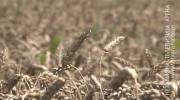 Kiša požnjela pšenicu, prinos niži i do 20 odsto